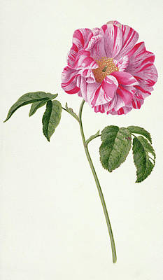 Rosa Gallica Poster by Pieter Withoos