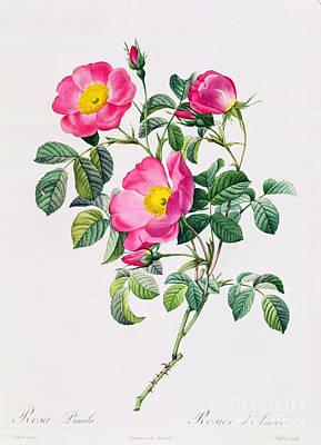 Rosa Lumila Poster