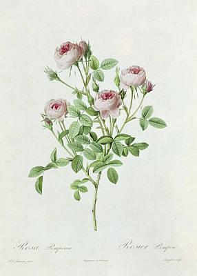 Rosa Pomponia Poster by Henri Joseph Redoute