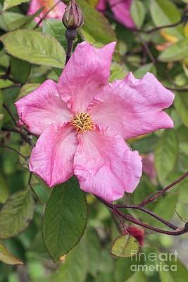 Rosa X Odorata Mutabilis Poster