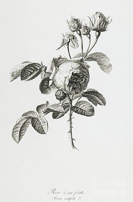 Rose Poster by Gerard van Spaendonck
