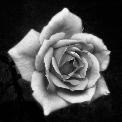 Rose In Mono. #flower #flowers Poster by John Edwards