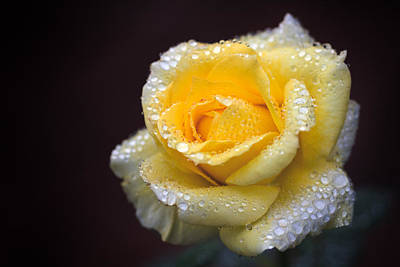 Rose In Rain 1 Poster