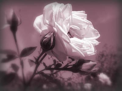 Rose In Rose Poster by Susan Lafleur