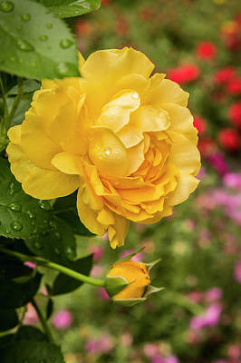 Rose, Julia Child Poster