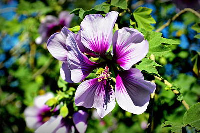 Rose Of Sharon - Blue Hibiscus Poster by Glenn McCarthy Art and Photography