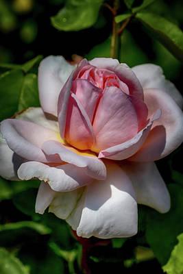 Rose Upon Opening Poster by John Haldane