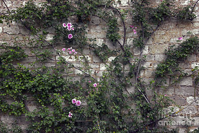 Rose Wall Poster by Svetlana Sewell