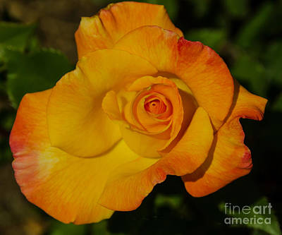 Rose Orange, Yellow, And Red Poster