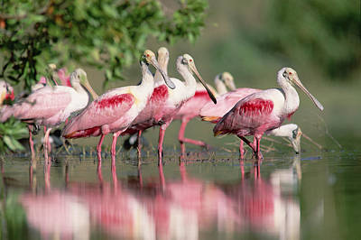 Roseate Spoonbill Flock Wading In Pond Poster