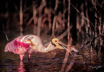 Poster featuring the photograph Roseate Spoonbill Gulping by David A Lane