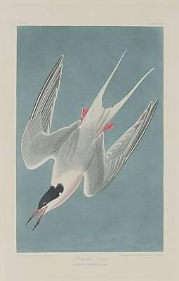 Roseate Tern Poster