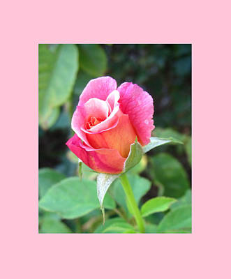 Rosebud With Border Poster