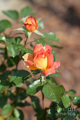 Rosebuds In Spring Poster by Maria Urso