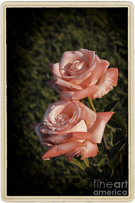 Roses In Bloom Poster by Stefano Senise