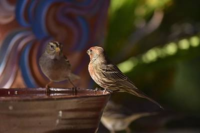 Rosy House Finch With White Crested Sparrows Poster