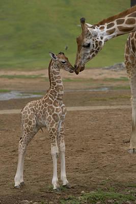 Rothschild Giraffe Giraffa Poster by San Diego Zoo