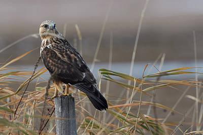Rough-legged Hawk - Fence Sitting Poster by Jestephotography Ltd