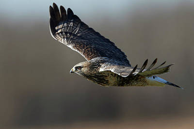 Rough-legged Hawk - Glide Poster by Jestephotography Ltd