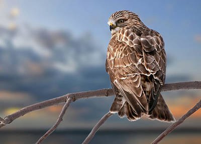 Rough Legged Hawk Poster