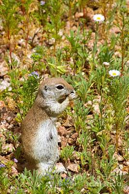 Round-tailed Ground Squirrel Poster by Sean Griffin
