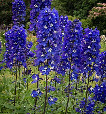 Row Of Delphiniums Poster