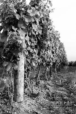 Row Of Wine Grapes Poster