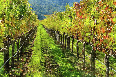 Rows Of Grapevines In Napa Valley Caliofnia Poster