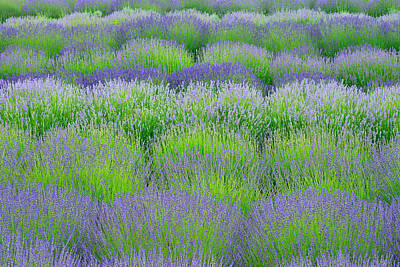 Rows Of Lavender Poster