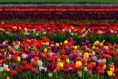 Poster featuring the photograph Rows Of Tulips by Susan Candelario