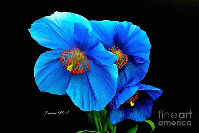 Royal Blue Poppies Poster by Jeannie Rhode