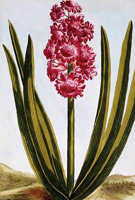 Royal Crimson Poster by Pierre-Joseph Buchoz