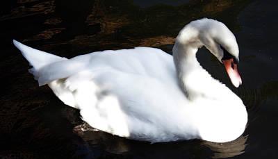 Royal Swan Poster