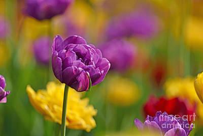 Royal Tulips Poster
