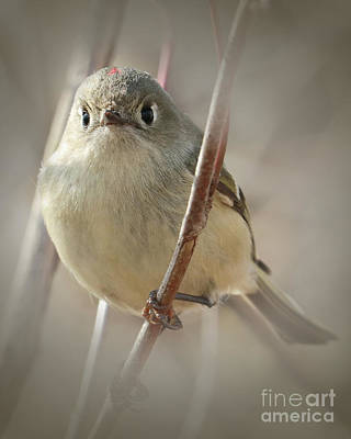 Ruby-crowned Cuteness Poster by Anita Oakley