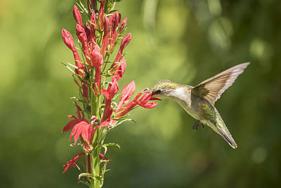 Ruby Throated Hummingbird 2-2015 Poster by Thomas Young