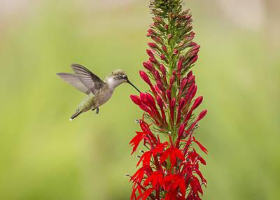 Ruby Throated Hummingbird 3-2015 Poster