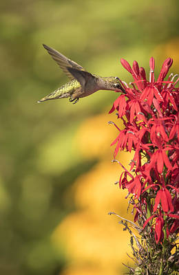 Ruby Throated Hummingbird 9-2015 Poster by Thomas Young