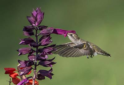 Ruby Throated Hummingbird At Purple Salvia Flower Poster