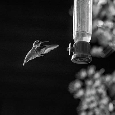 Ruby-throated Hummingbird Bw Poster