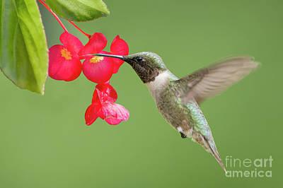 Ruby Throated Hummingbird Feeding On Begonia Poster by Bonnie Barry