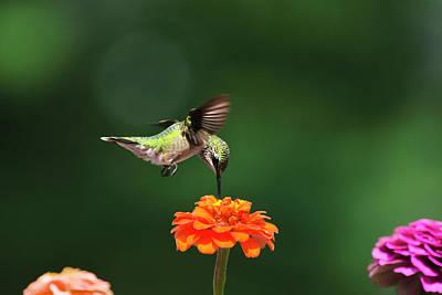 Ruby Throated Hummingbird Feeding On Orange Zinnia Flower Poster by Christina Rollo