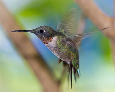Ruby Throated Hummingbird In Flight Poster
