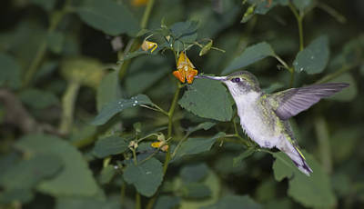 Rubythroated Hummingbird And Jewel Weed Poster