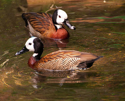 White-faced Whistling Duck Poster by Chris Flees