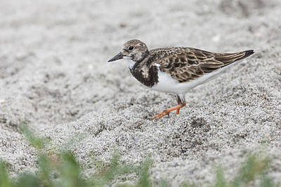 Ruddy Turnstone Foraging On The Beach Poster