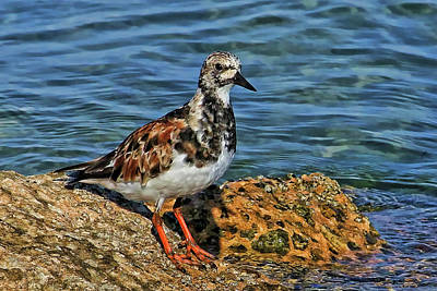 Ruddy Turnstone Poster by HH Photography of Florida