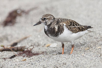 Ruddy Turnstone On The Beach Poster