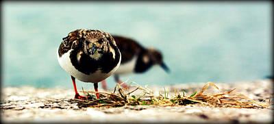 Ruddy Turnstone Seabird Poster by Susie Weaver