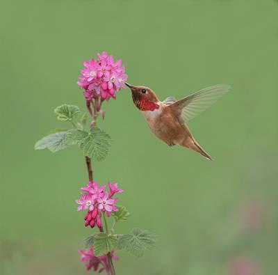 Rufous Hummingbird Enjoying Sweet Nectar Poster
